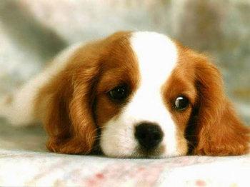 free-cute-dog-screensaver_350